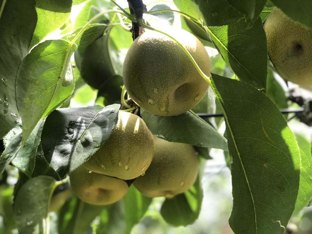 梅雨時期の梨